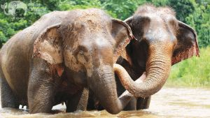 Elephants socializing in the river at Asian Elephant Projects tour