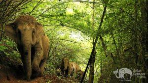 Elephants walking through the jungle at elephant tour near Chiang Mai