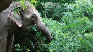 Elephant eating bamboo in the jungles of Thailand