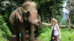 Feeding an elephant a banana while on Asian Elephant Projects ethical tour