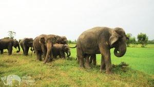 Elephant family at ethical elephant sanctuary near Surin in Thailand