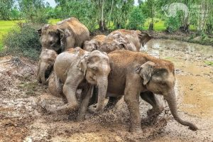 Elephant herd plays in the mud at ethical elephant sanctuary near Surin in Thailand