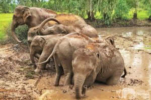 Herd of elephants take a mud bath at ethical elephant sanctuary near Surin in Thailand