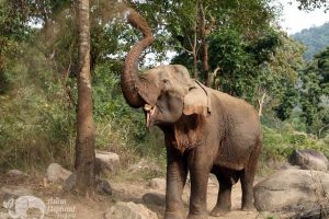 Elephant giving herself a dust bath at ethical elephant tour