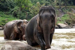 Elephants seen at ethical elephant tour while on Thailand vacation