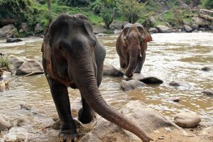 Elephants at the river in Northern Thailand elephant tour