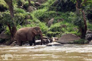 Elephants by the river in Northern Thailand