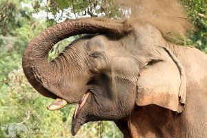 Elephant gives himself a dust bath in Northern Thailand