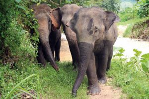 Elephant walking on tour in Northern Thailand