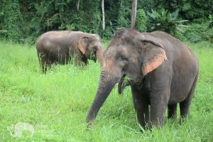 Elephants roaming and foraging in Thailand