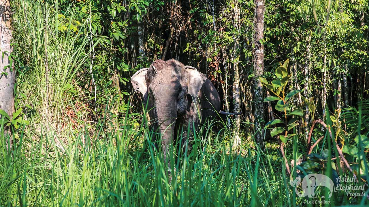 Elephant foraging in the jungle at Elephant Sanctuary Cambodia