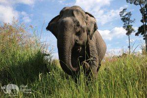 Elephants foraging at Elephant Sanctuary Cambodia
