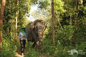 Walking with elephants at elephant sanctuary in Cambodia