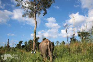 Elephant grazes on the grasses at Elephant Sanctuary Cambodia