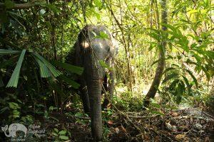 Elephant wanders the forest at Elephant Sanctuary Cambodia