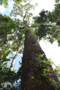 Beautiful old tree in Cambodia forest reserve