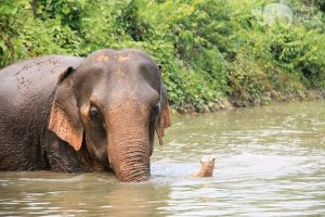 Elephants cooling off in the water at ethical elephant tour near Chiang Mai in Thailand