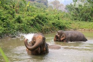 Elephants playing in the water at ethical elephant tour near Chiang Mai in Thailand
