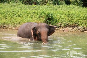 Elephants enjoying a bath at ethical elephant tour near Chiang Mai in Thailand