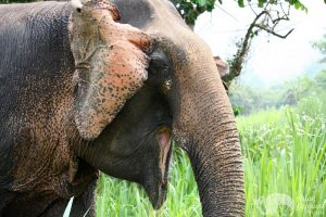 Close encounter with elephant at ethical elephant tour near Chiang Mai in Thailand