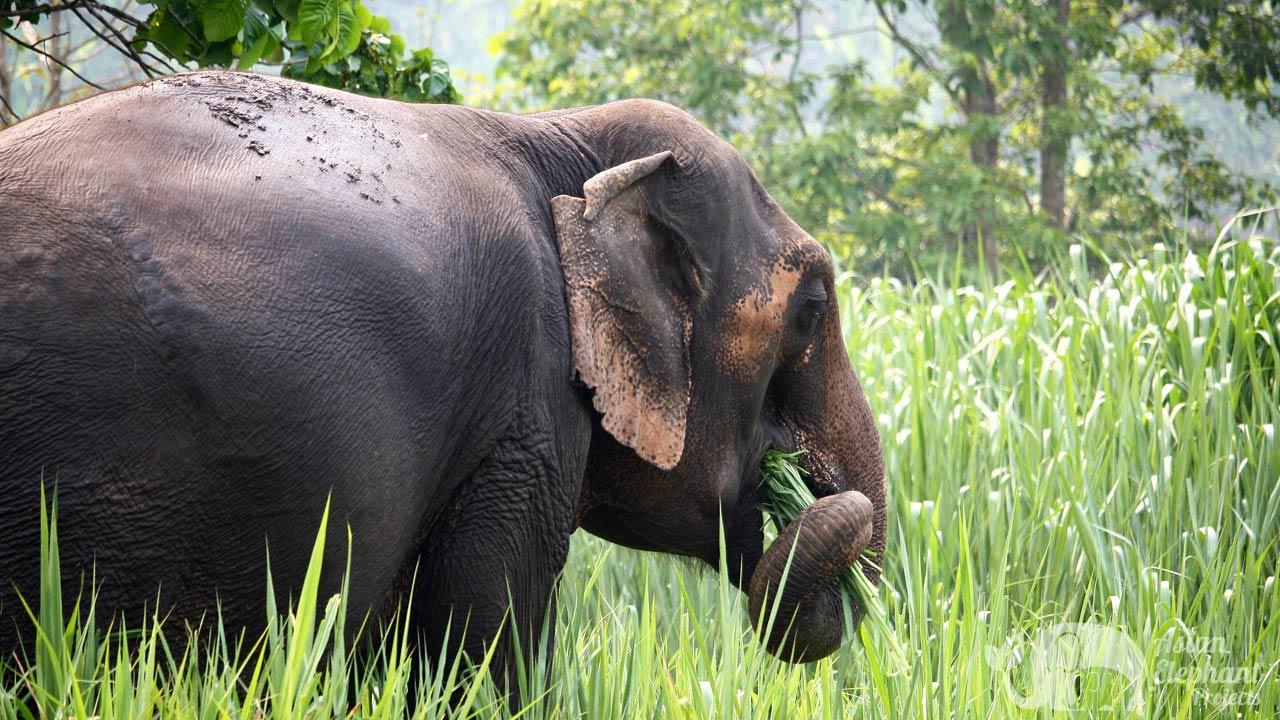 Elephant grazing at ethical elephant tour near Chiang Mai Thailand
