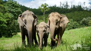 Elephant herd socializing at ethical elephant tour near Chiang Mai in Thailand