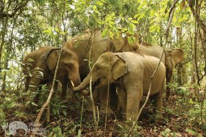 Elephants socializing in the jungle at ethical elephant tour near Chiang Mai in Thailand