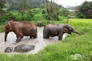 Elephants enjoying a bath at at ethical elephant tour near Chiang Mai in Thailand
