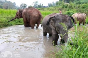 elephant forage from the river at Ethical elephant sanctuary Thailand