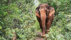 Elephants rescued from riding wandering the forest in Thailand
