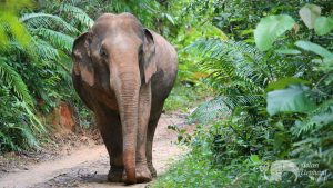 Elephant walking through the forest in Thailand