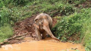 Elephant entering the mud pool on tour in Thailand