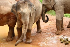 Elephants playing in the mud in the jungle