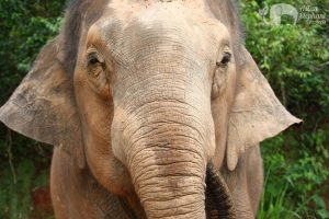 Close up encounter with an elephant on tour in Thailand near Chiang Mai