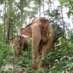 Elephants roam the jungle in Northern Thailand