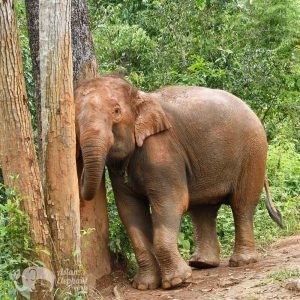 Elepphant rubs up against a tree in the jungle in Thailand
