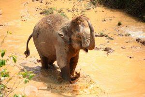 Elephant enjoys a mud bath