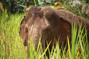 Elephant in the tall grasses at ethical elephant tour near Chiang Mai in Thailand