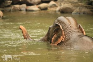 Elephant swimming in the river near Chiang Mai