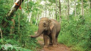 Elephants walking through the jungle in Northern Thailand on elephant tour