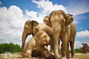 Elephants take a mud bath at Surin Project Thailand