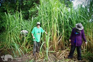 Volunteers cut grass for elephants at Surin Project Thailand