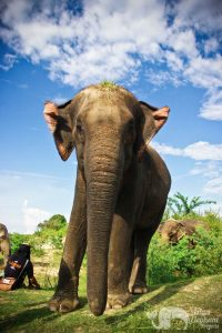 Intimate encounter with elephants at Surin Project Thailand