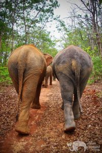 Walking with elephant at Surin Project Thailand