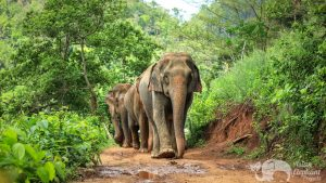 Elephants walking along jungle trails at ethical elephant sanctuary near Chiang Mai in Thailand