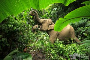 Elephants foraging in the at ethical elephant sanctuary near Chiang Mai in Thailand