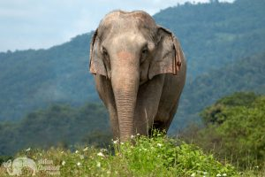 Beautiful elephant at ethical elephant sanctuary near Chiang Mai in Thailand