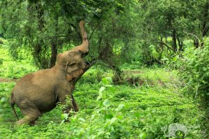 Elephant foraging at ethical elephant sanctuary near Chiang Mai in Thailand