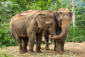 Elephant friends embrace at ethical elephant sanctuary near Chiang Mai in Thailand