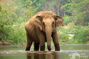 Elephant standing in the river at ethical elephant sanctuary near Chiang Mai in Thailand